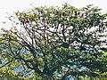 Fruit bats roosting upside down in the top of a tree.jpg