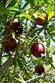 Fruit trees עצי פרי (43).JPG