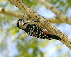 Fulvous-breasted Woodpecker (Dendrocopos macei) - Flickr - Lip Kee (4).jpg