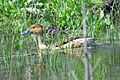 Fulvous Whistling-Duck (26113222285).jpg