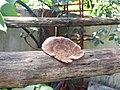 Fungi-103-xavier cottage-yercaud-salem-India.jpg