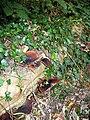 Fungi and Ivy - geograph.org.uk - 234679.jpg
