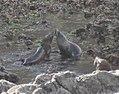 Fur Seals 1 (30661834444).jpg