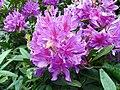 GOC Woburn 104 Rhododendron (Rhododendron ponticum) (22608411664).jpg