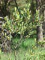 Gagelstrauch weibl. in Blüte.jpg