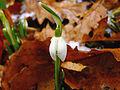 Galanthus nivalis 2.jpg