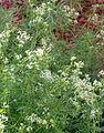 Galium asprellum clump cropped.jpg