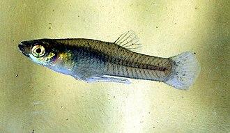 Mosquitofish - Male