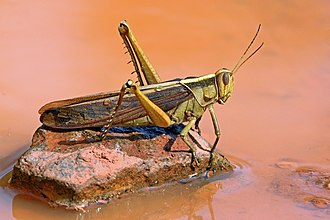 Orthoptera - Garden locust (Acanthacris ruficornis), Ghana, family Acrididae