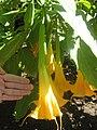 Gardenology.org-IMG 1975 hunt0903.jpg