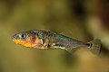 Gasterosteus aculeatus - Epinoche - Three-spined stickleback.jpg