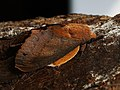 Gastropacha quercifolia ♂ - The Lappet (male) - Коконопряд дуболистный (самец) (28121276187).jpg