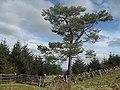 Gate and Pine - geograph.org.uk - 752805.jpg