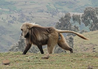 Semien Mountains - Image: Gelada 02