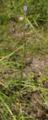 Gemuenden Ehringshausen Feldatal Felda Campanula persicifolia cl.png
