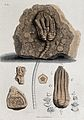 Geology; fossil remains in stone. Coloured engraving. Wellcome V0025113ER.jpg