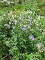 Geranium pratense001.jpg