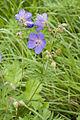 Geranium pratense frechencourt 80 12062008 5.jpg