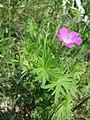 Geranium sanguineum sl16.jpg