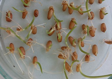 Germination of wheat seeds in Petri dish (cropped).jpg