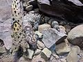 Gila Monster resting.jpg
