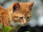 Ginger Kitten.jpg