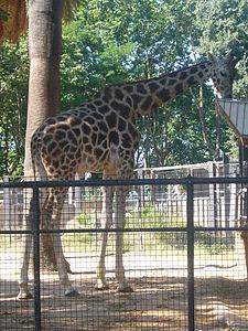 Girafa menjant al Zoo de Barcelona.JPG