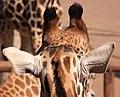 Giraffe 1 (3309002807).jpg