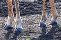 Giraffe hooves (2875300476).jpg
