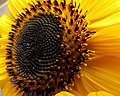 Girasol (Helianthus annuus) - Flickr - Alejandro Bayer (7).jpg