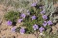 Glandularia wrightii - Flickr - aspidoscelis.jpg