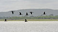 Glossy Ibis (Plegadis falcinellus) in flight W IMG 9755.jpg