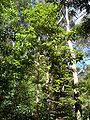 Gmelina2008.JPG