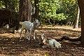 Goats in Varkala.jpg
