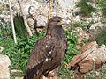 Golden Eagle (154783703).jpg