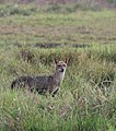 Golden Jackal or Indian Jackal, canis aureus indicus.jpg