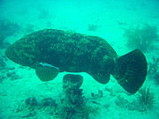 Atlantic Goliath grouper