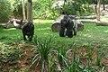 Gorilas Zoo-Botânica de BH.jpg
