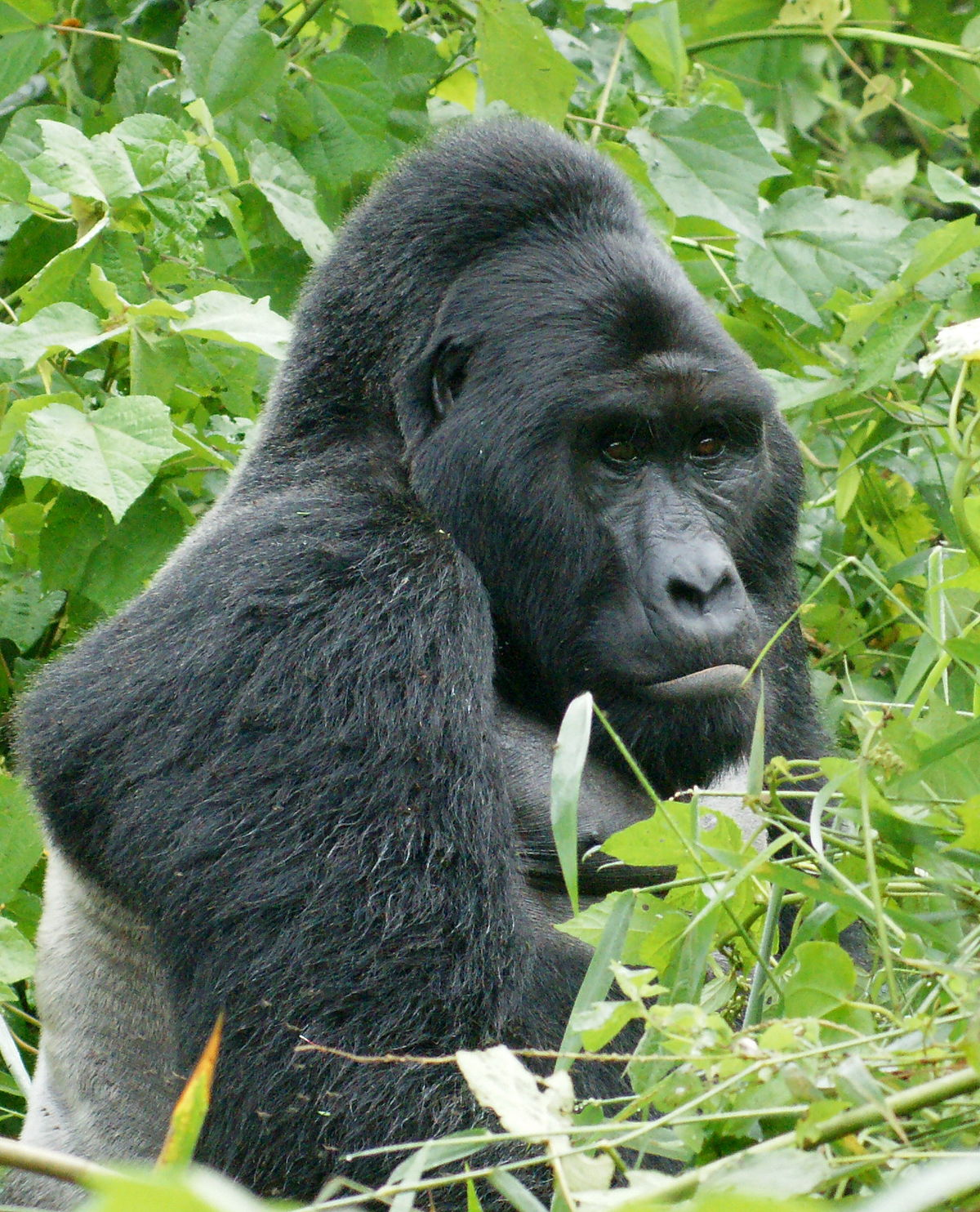 Gorilla - Wikipedia, la enciclopedia libre