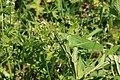 Grünes Heupferd Tettigonia viridissima 0755.jpg