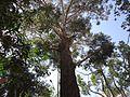 Grande árvore no Núcleo da Pedra Grande.jpg