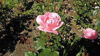Grandiflora - Queen Elizabeth 4 (cr).JPG