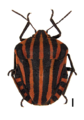 Graphosoma lineatum on white.png
