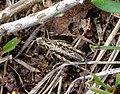 Grasshopper (Chorthippus brunneus?), Sandy, Bedfordshire (7669087758).jpg