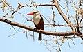 Gray-headed Kingfisher (Halcyon leucocephala) (46562421851).jpg