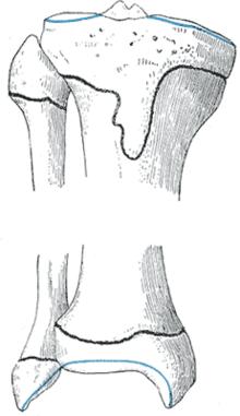 Tibia - Wikipedia