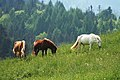 Grazing horses - Flickr - mathias-erhart.jpg