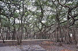 Great Banyan Tree - Howrah 2011-02-20 1661.JPG