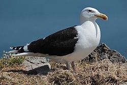Great Black Backed Gull Ireland's Eye.jpg