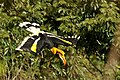Great Hornbill in flight 2.jpg